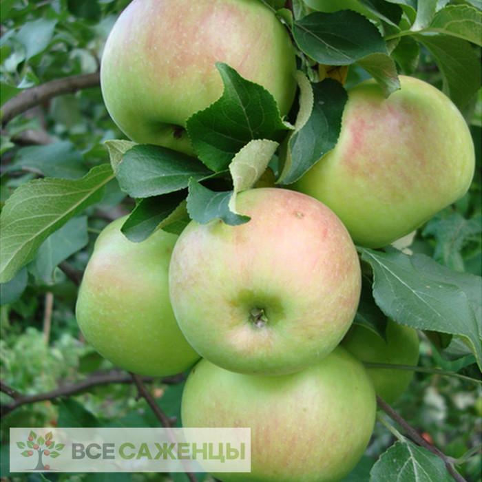 Купить Яблоня Богатырь
