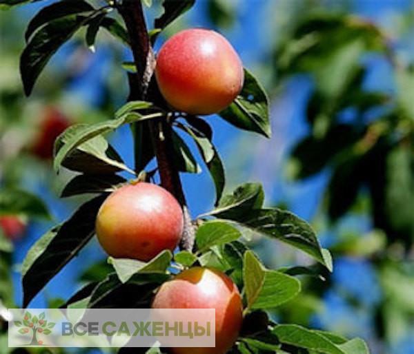 Шарафуга (гибрид абрикоса, сливы и персика — Bella Gold)