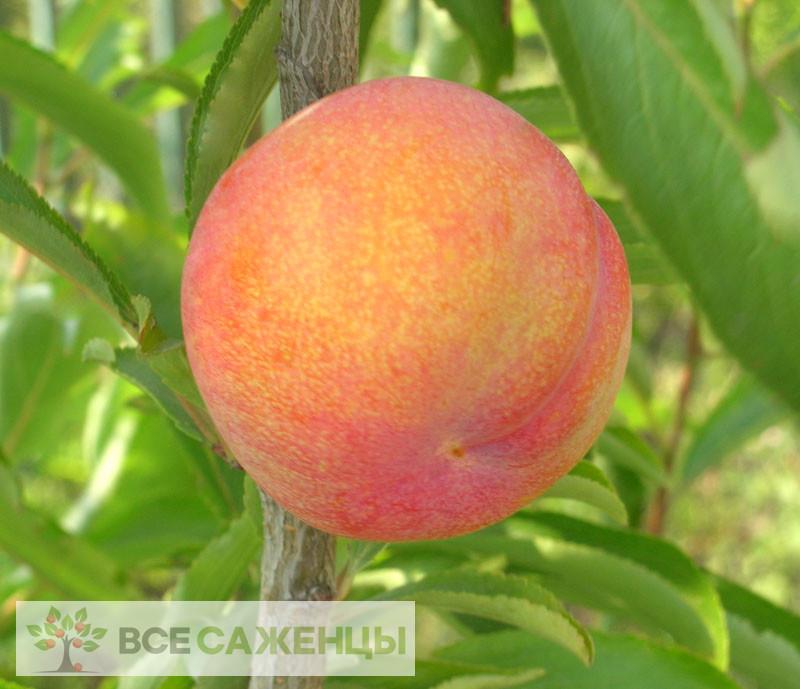 Фото Шарафуга (гибрид абрикоса, сливы и персика — Bella Gold)
