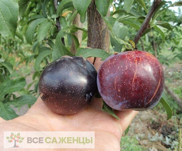 Фото саженцев Шарафуга (гибрид сливы, персика и абрикоса — Velvet Sunrise)