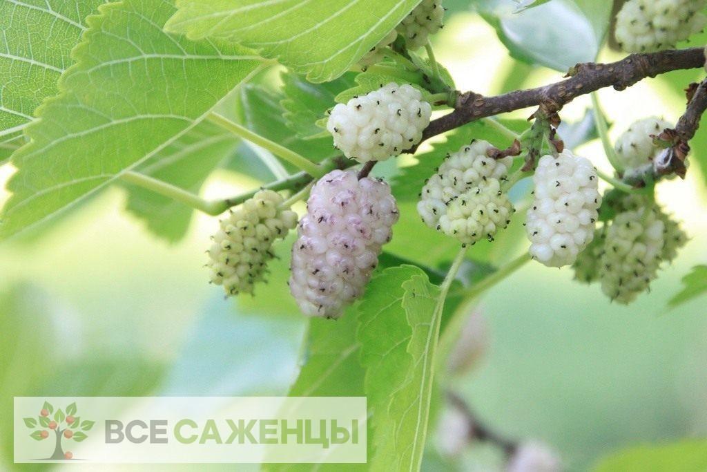 Фото Шелковица Белая нежность