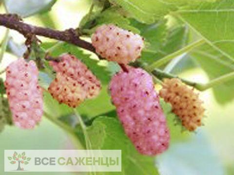 Фото Шелковица Украинская
