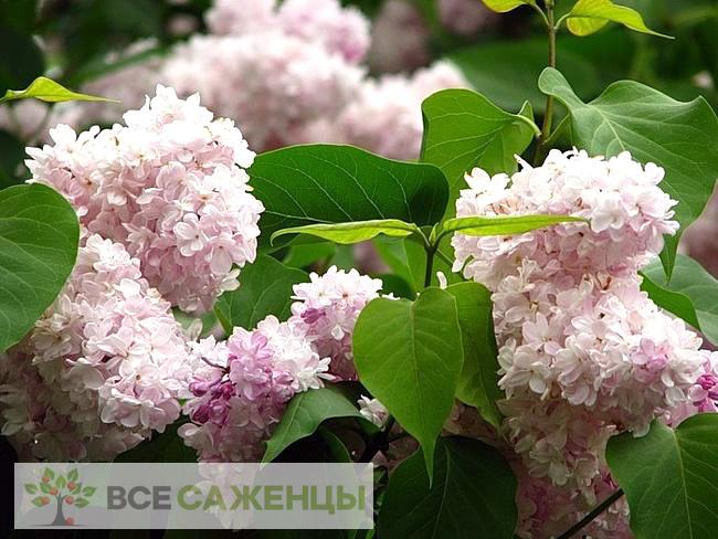 Купить Сирень обыкновенная Красавица Москвы (Beauty of Moscow)