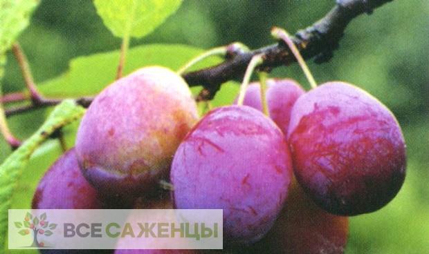 Фото Слива Скороспелка красная