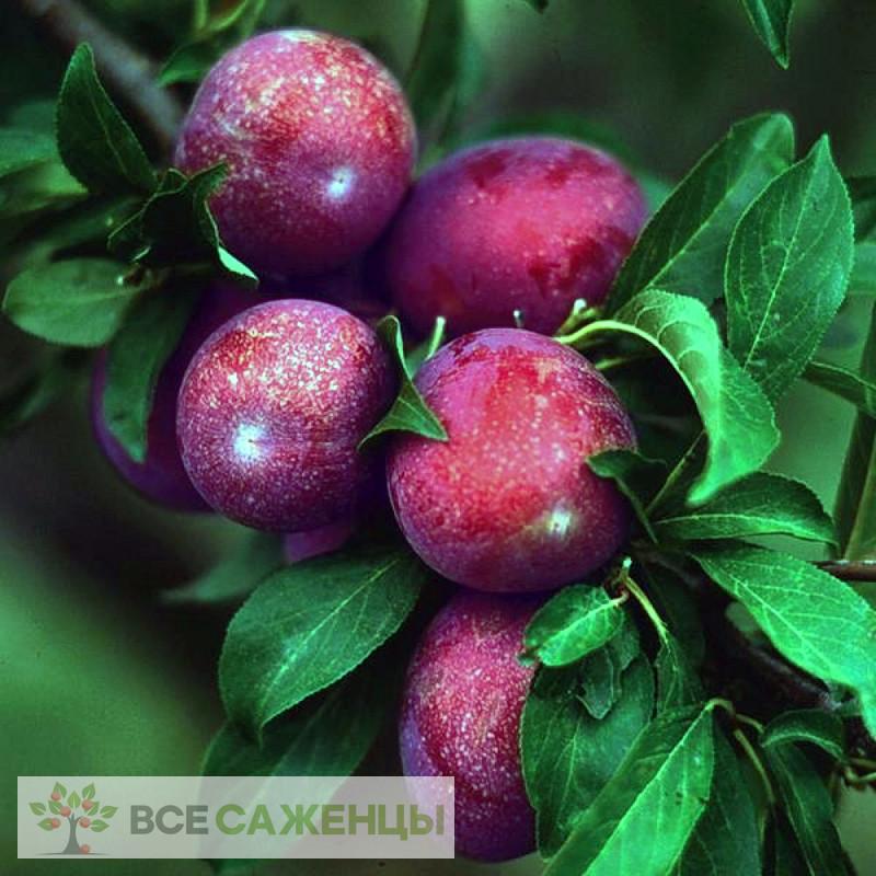 Фото Сливово-вишневый гибрид Крошка
