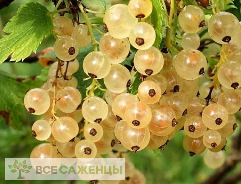 Фото Смородина белая Версальская