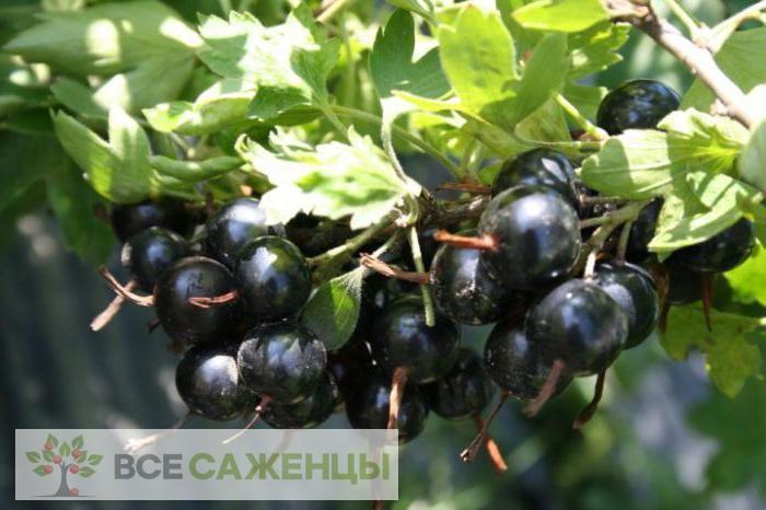 Купить Смородина черная Черный жемчуг