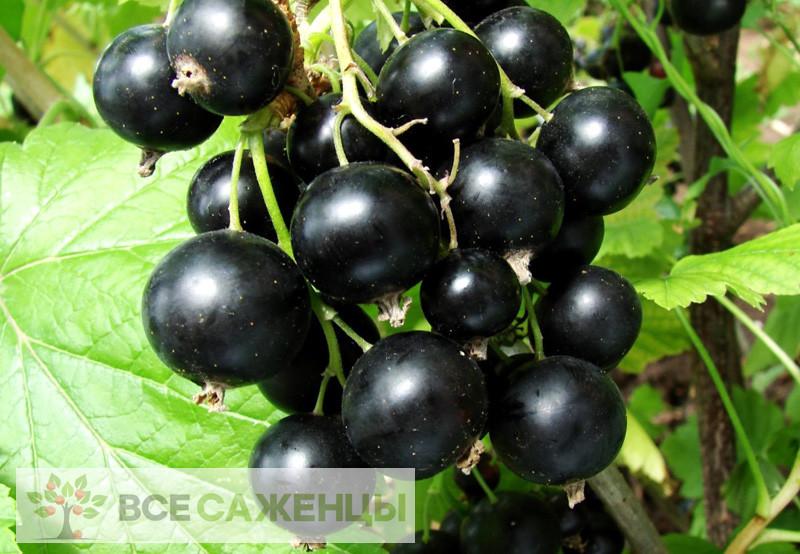 Смородина черная сахарная Обыкновенное чудо