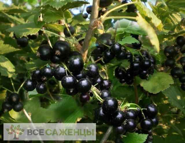 Фото Смородина черная Селеченская 2