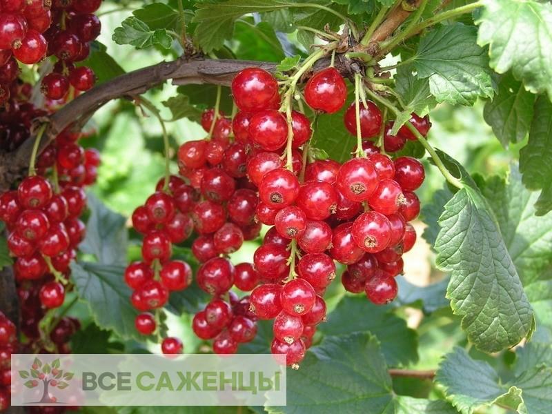 Фото Смородина красная Детван