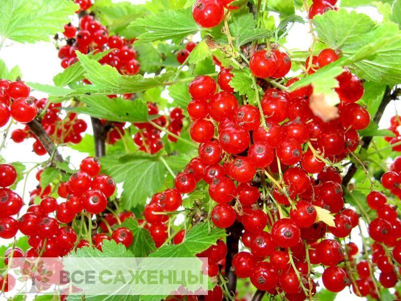 Фото Смородина красная Красный крест