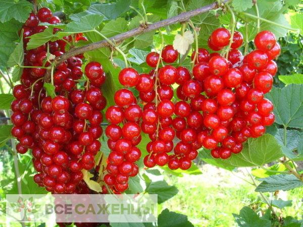 Фото Смородина красная Сахарная
