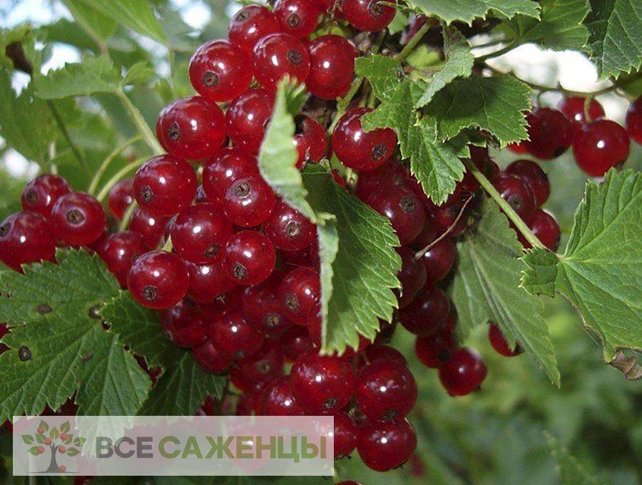 Фото Смородина красная Версальская красная