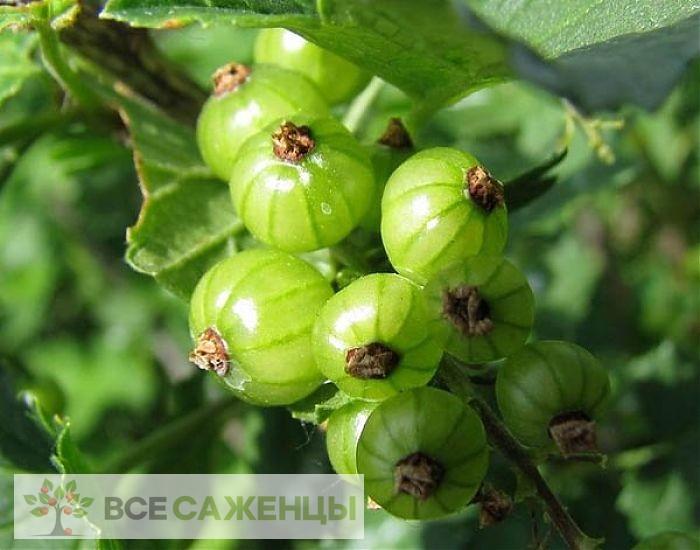 Фото Смородина зеленая Изумрудное ожерелье