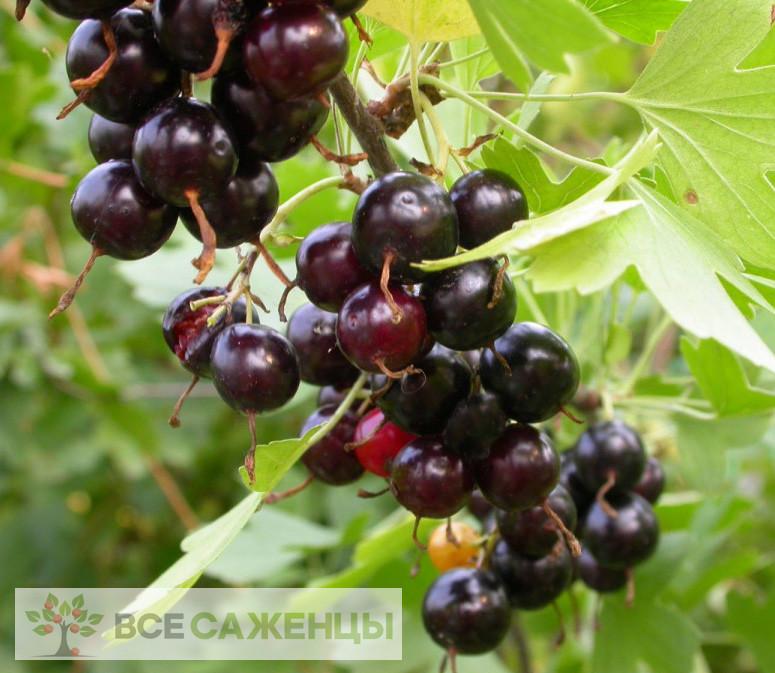 Фото Смородина золотистая Узбекская (Узбекистанская крупноплодная)