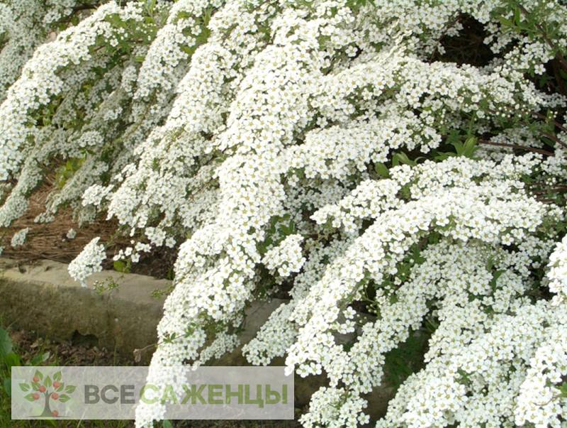 Спирея Белая Невеста (Вангутта)