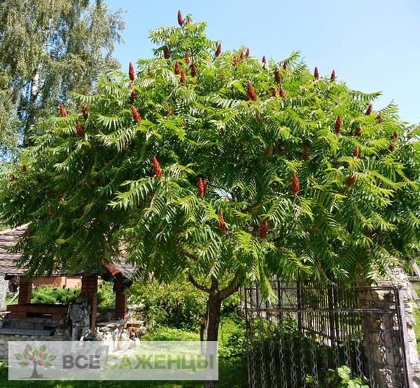 Фото Сумах оленерогий (или Пушистый, Уксусное дерево)