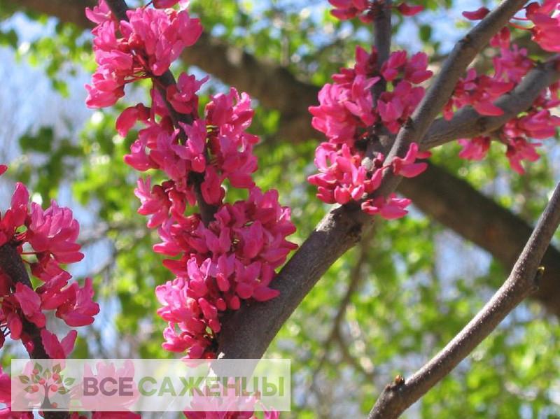 Церцис канадский (багрянник) Appalachian Red