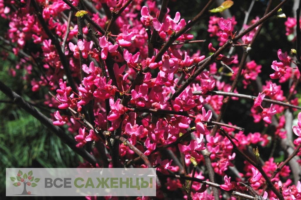 Фото саженцев Церцис канадский (багрянник) Appalachian Red
