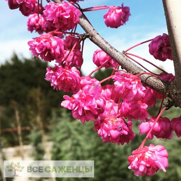 Фото саженцев Церцис Канадский Пинк Пом Помс (Cercis Сanadensis Pink Pom Pom)