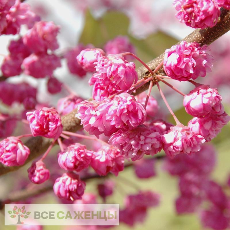 Церцис Канадский Пинк Пом Помс (Cercis Сanadensis Pink Pom Pom)