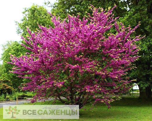 Фото Церцис Канадский Пинк Пом Помс (Cercis Сanadensis Pink Pom Pom)