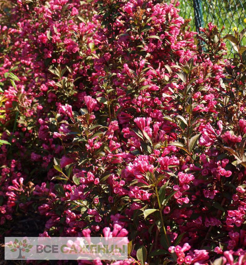 Фото саженцев Вейгела цветущая Виктория (Weigela Victoria)
