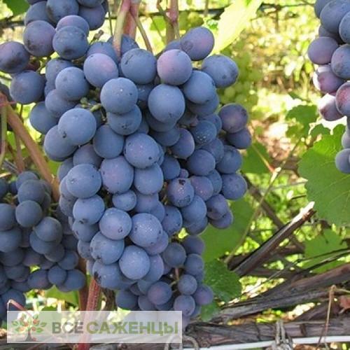 Купить Виноград Агат Донской