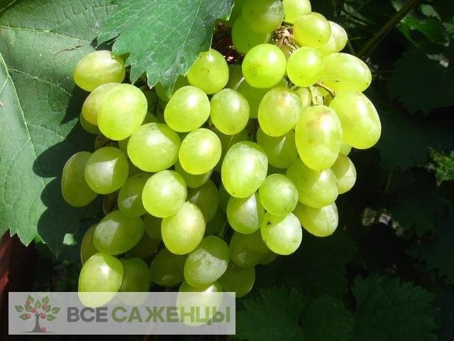 Купить Виноград Алешкин (Алешенькин)
