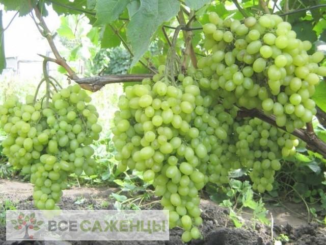 Виноград Алешкин (Алешенькин)
