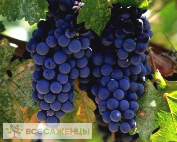 Купить Виноград Альфа