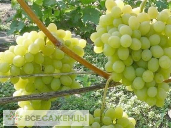 Виноград Августин белый