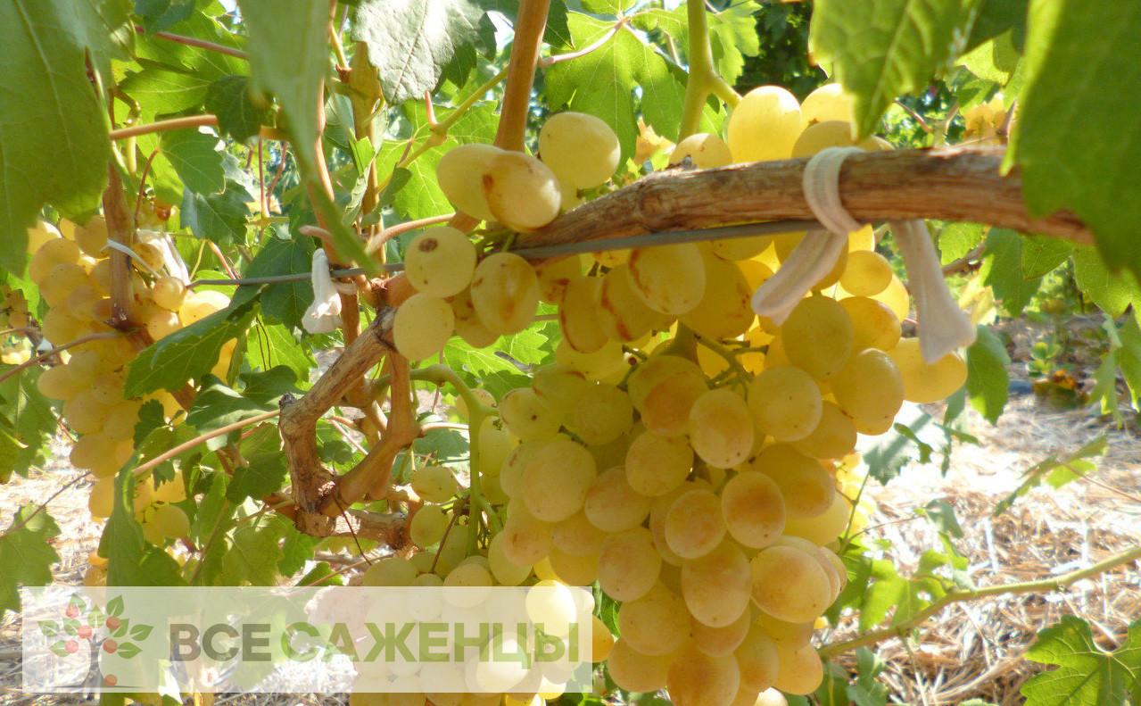 Виноград Кишмиш Балет