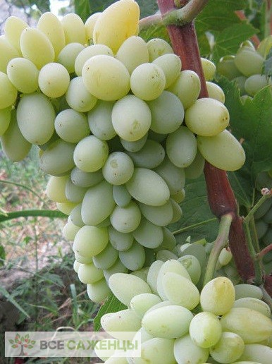 Купить Виноград Кишмиш Нептун