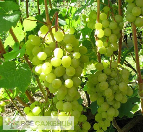 Купить Виноград Краса севера (Ольга)