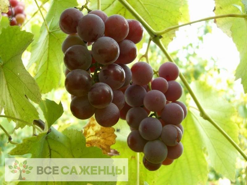 Купить Виноград Лидия