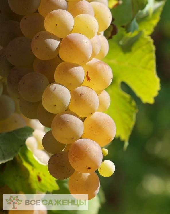 Виноград Мускат белый (Мускатный белый)