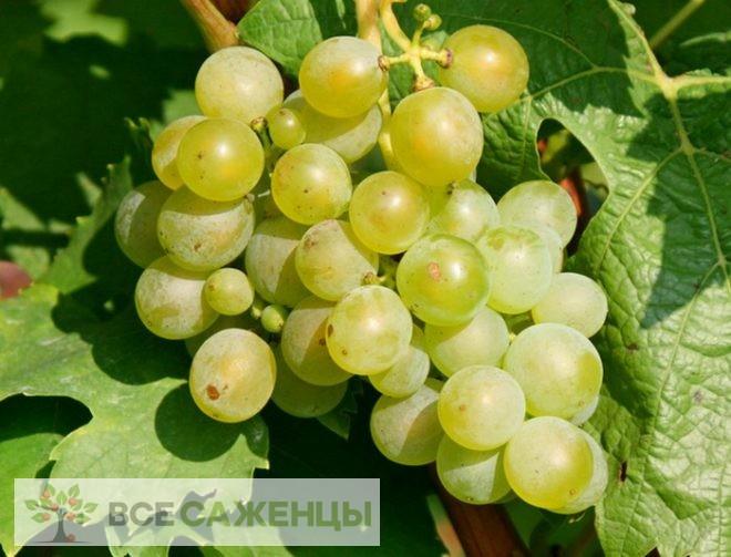 Купить Виноград Мускат белый (Мускатный белый)