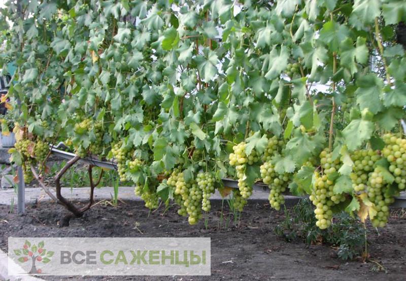 Виноград Мускат янтарный