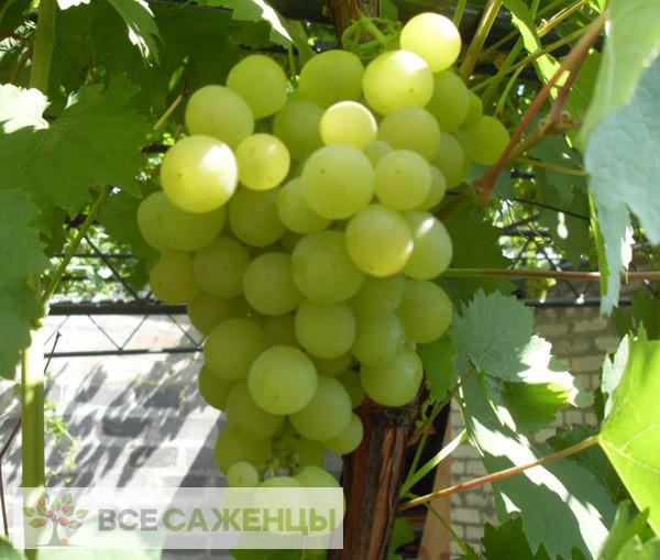 Купить Виноград Мускат янтарный