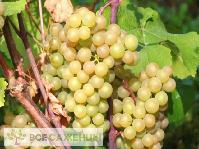 Купить Виноград Платовский
