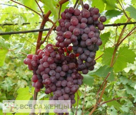 Купить Виноград Русский ранний (Конфетка)