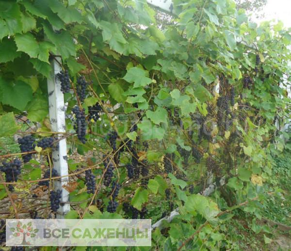 Виноград Северный сладкий