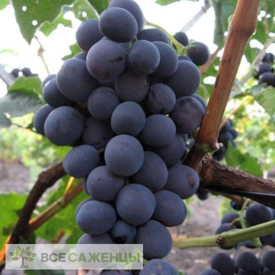 Купить Виноград Северный сладкий