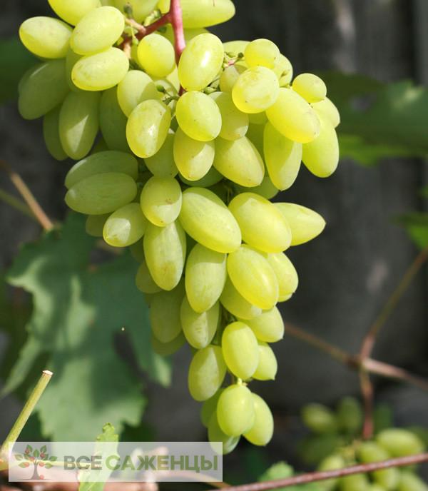 Купить Виноград Тимур