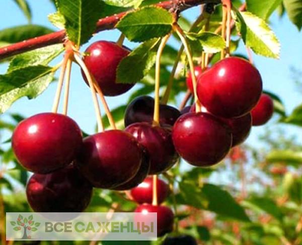 Купить Вишня Эрди крупноплодная (Ботермо)