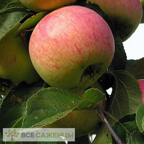 Купить Яблоня Анис полосатый