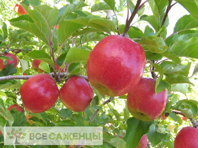 Купить Яблоня Беркутовское