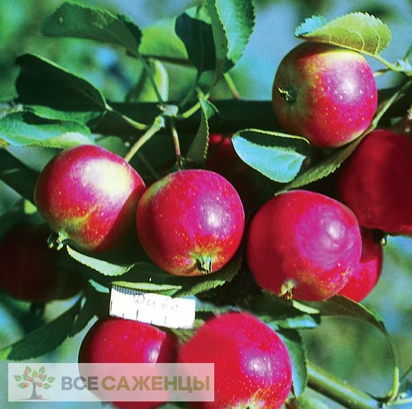 Купить Яблоня Диво