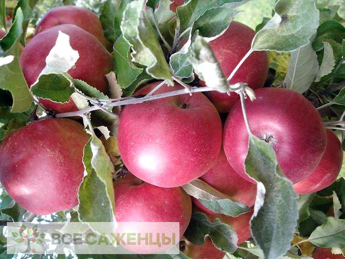 Купить Яблоня Джонатан